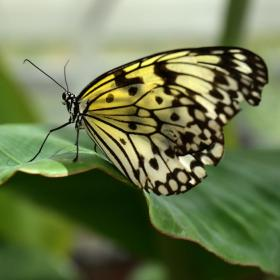 Yellow-Square-Butterfly
